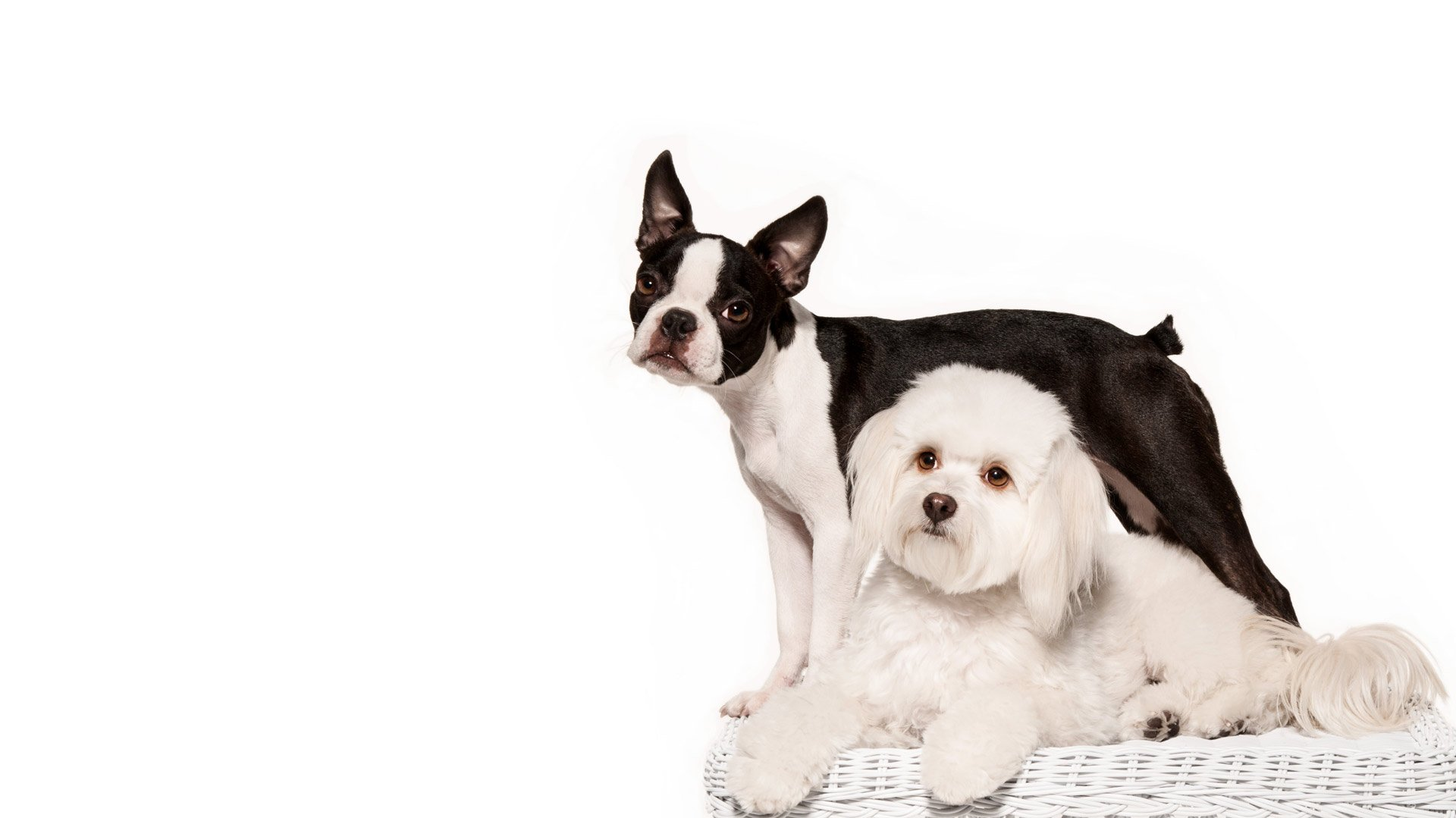 white-bichon-frise-and-boston-terrier-dog