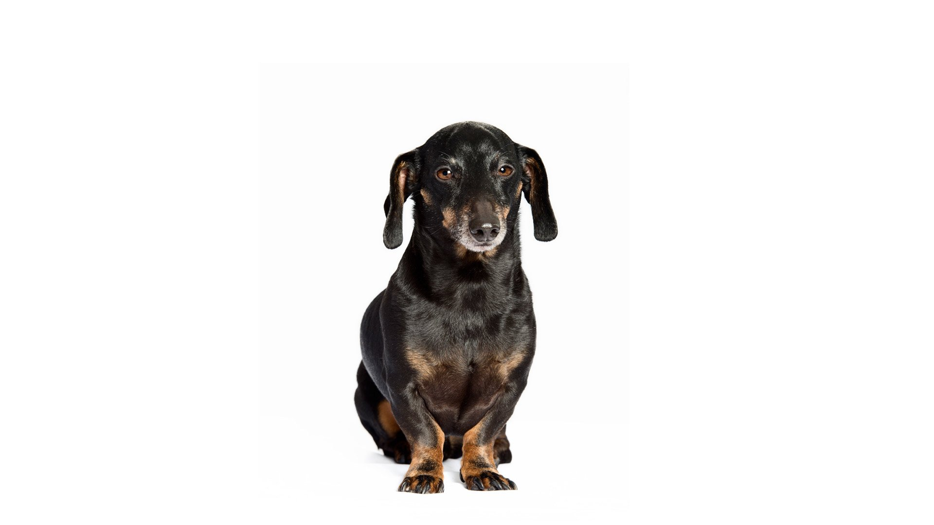 dog-dachshund