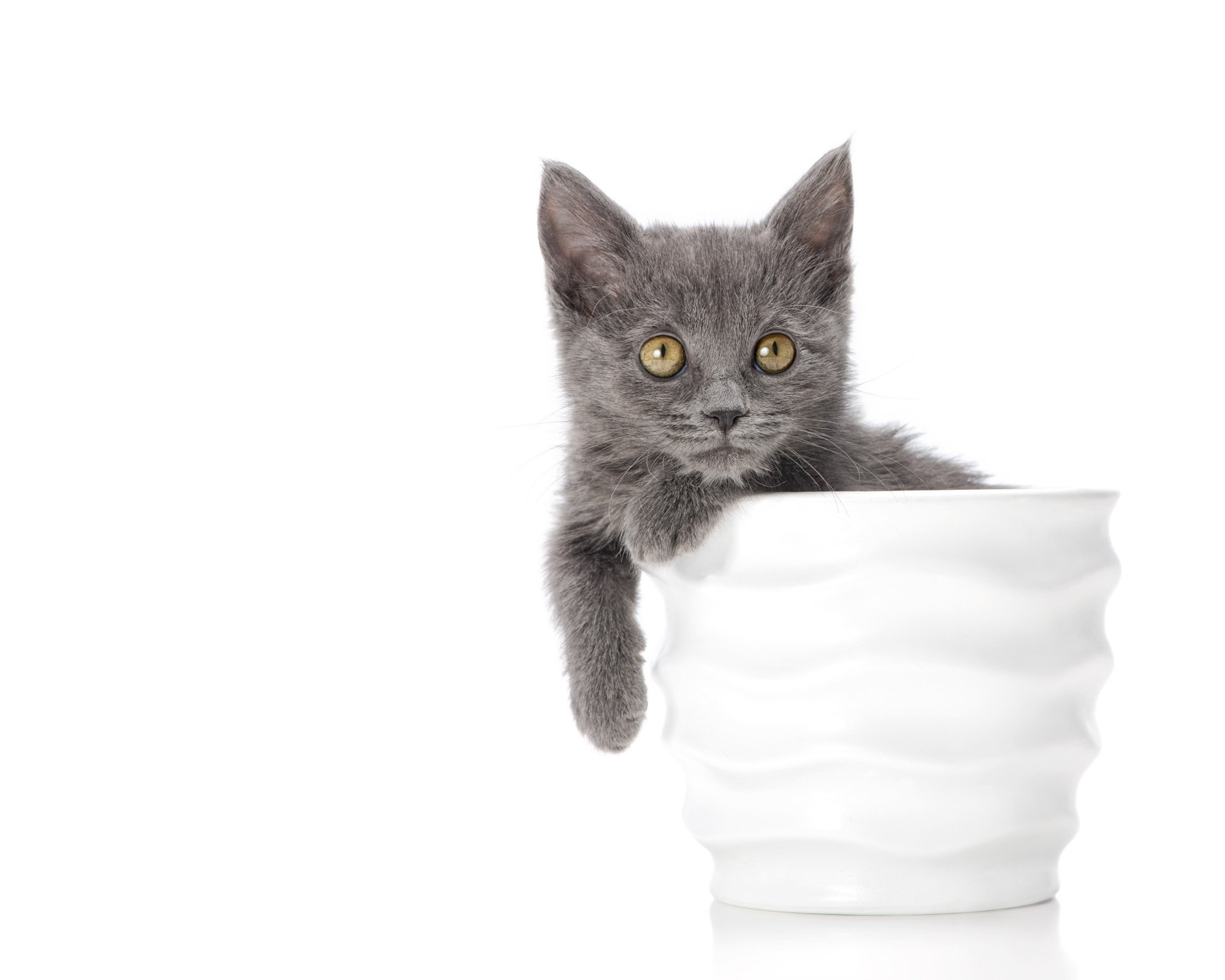 cat-grey-kitten-in-cup