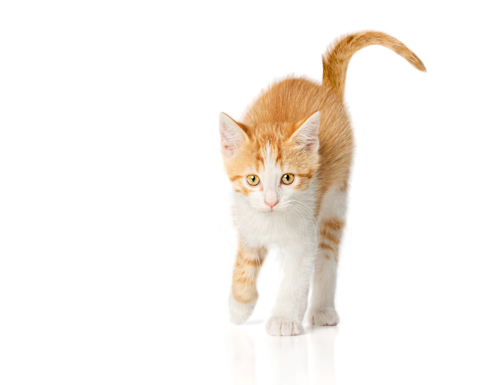 cat-white-and-orange-shorthair-kitten