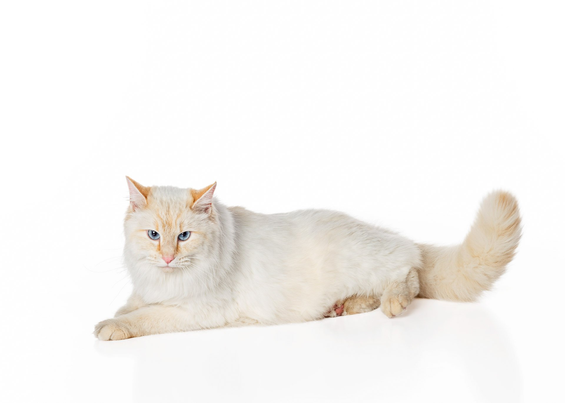 cat-flame-point-siamese