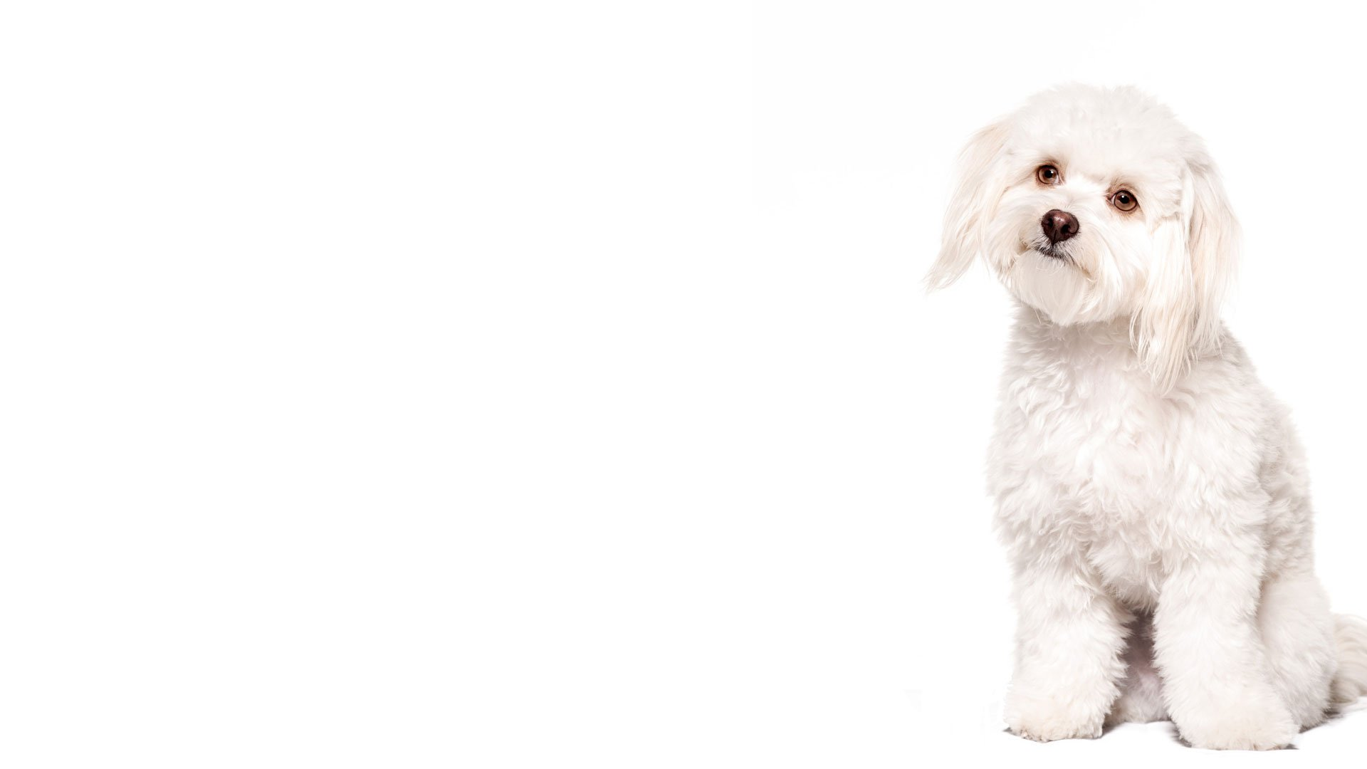 dog-white-bichon-frise