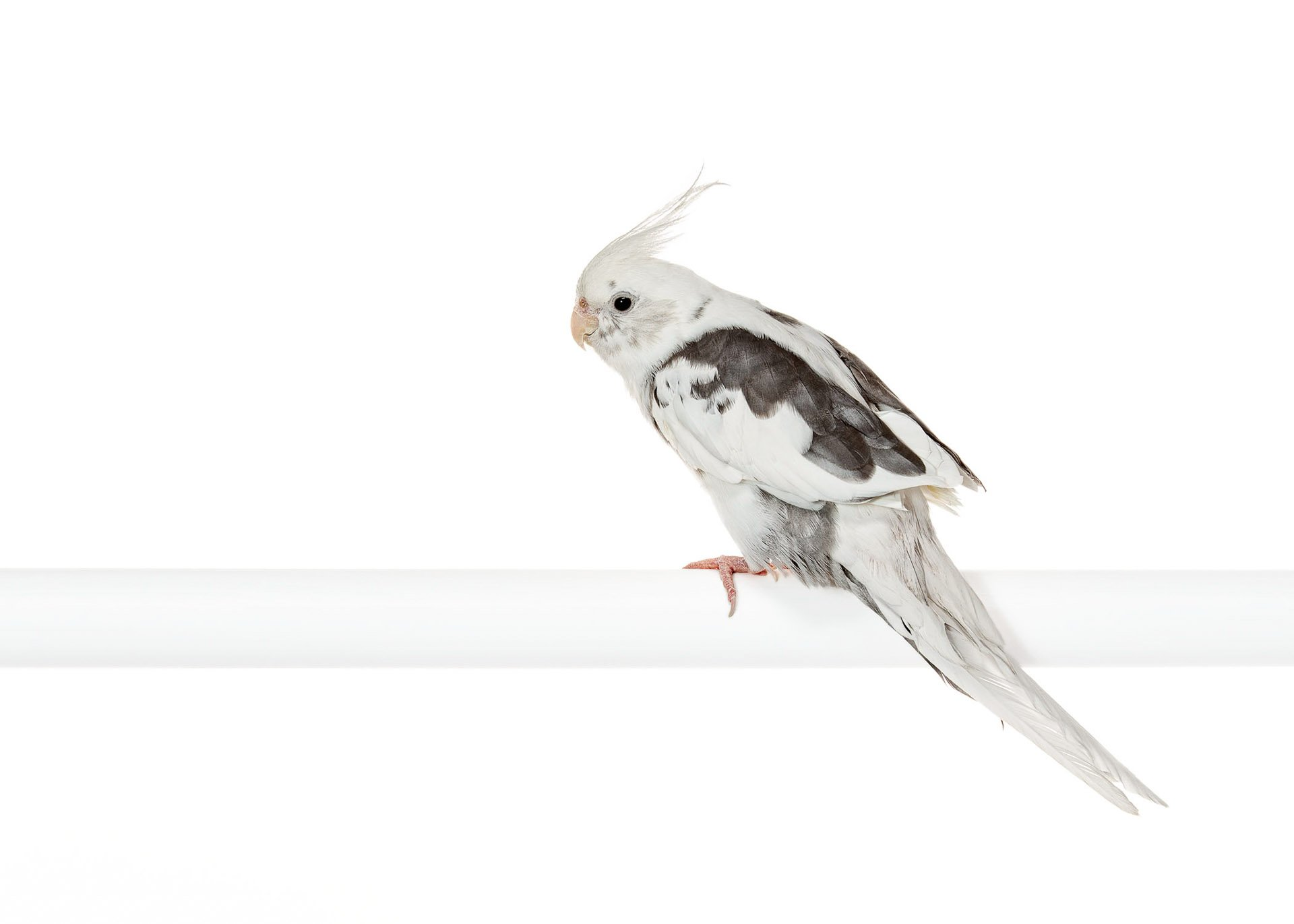 ave-bird-cockatiel-white-faced