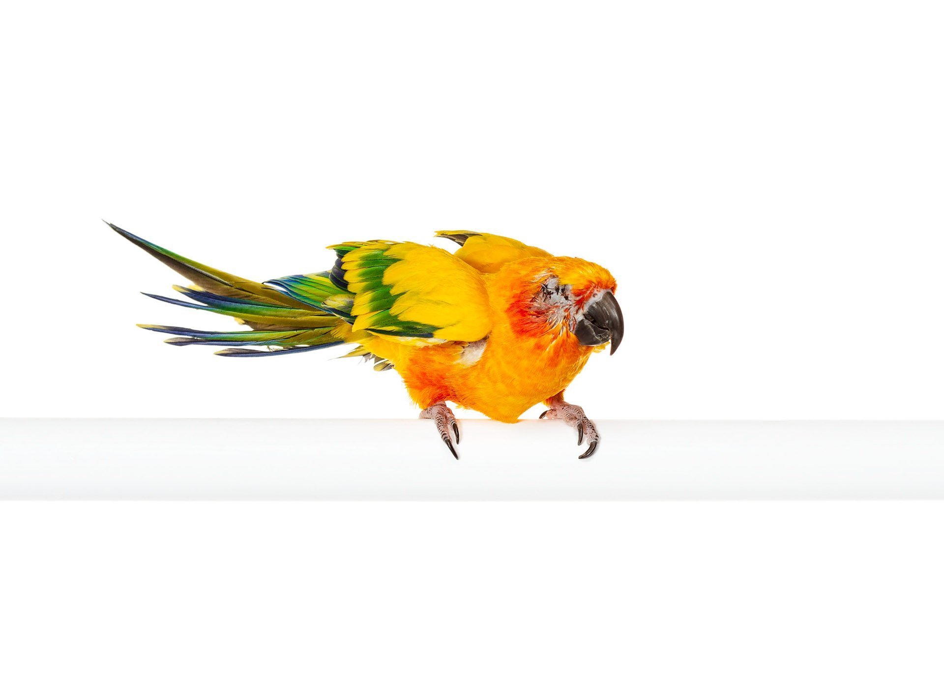 ave-bird-parakeet-sun-conure-blind