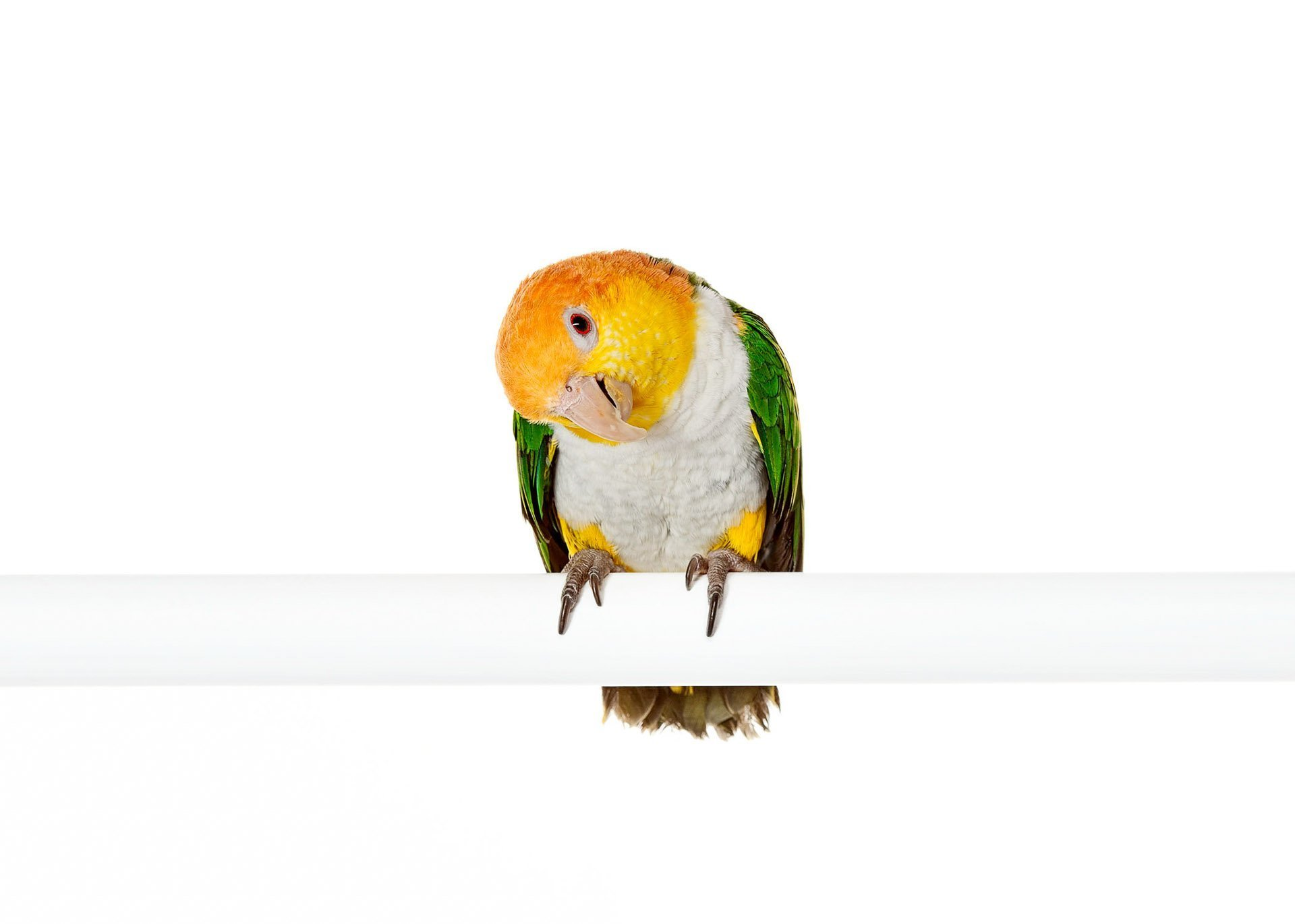 ave-bird-parrot-caique