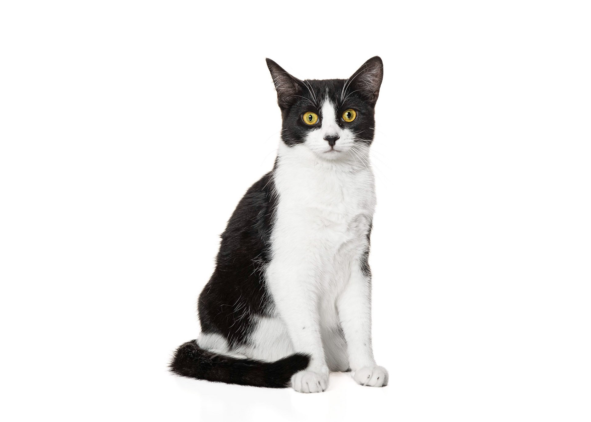 cat-domestic-shorthair-black-white
