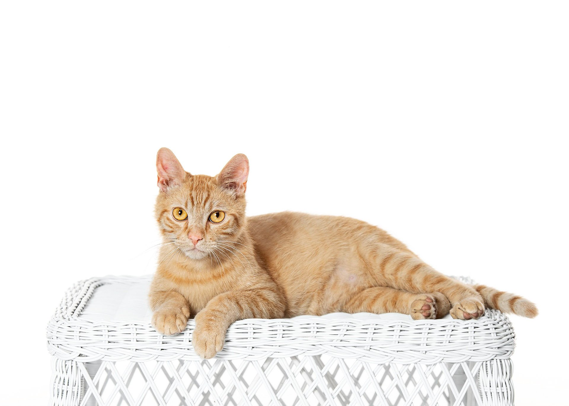cat-domestic-shorthair-cream-tabby