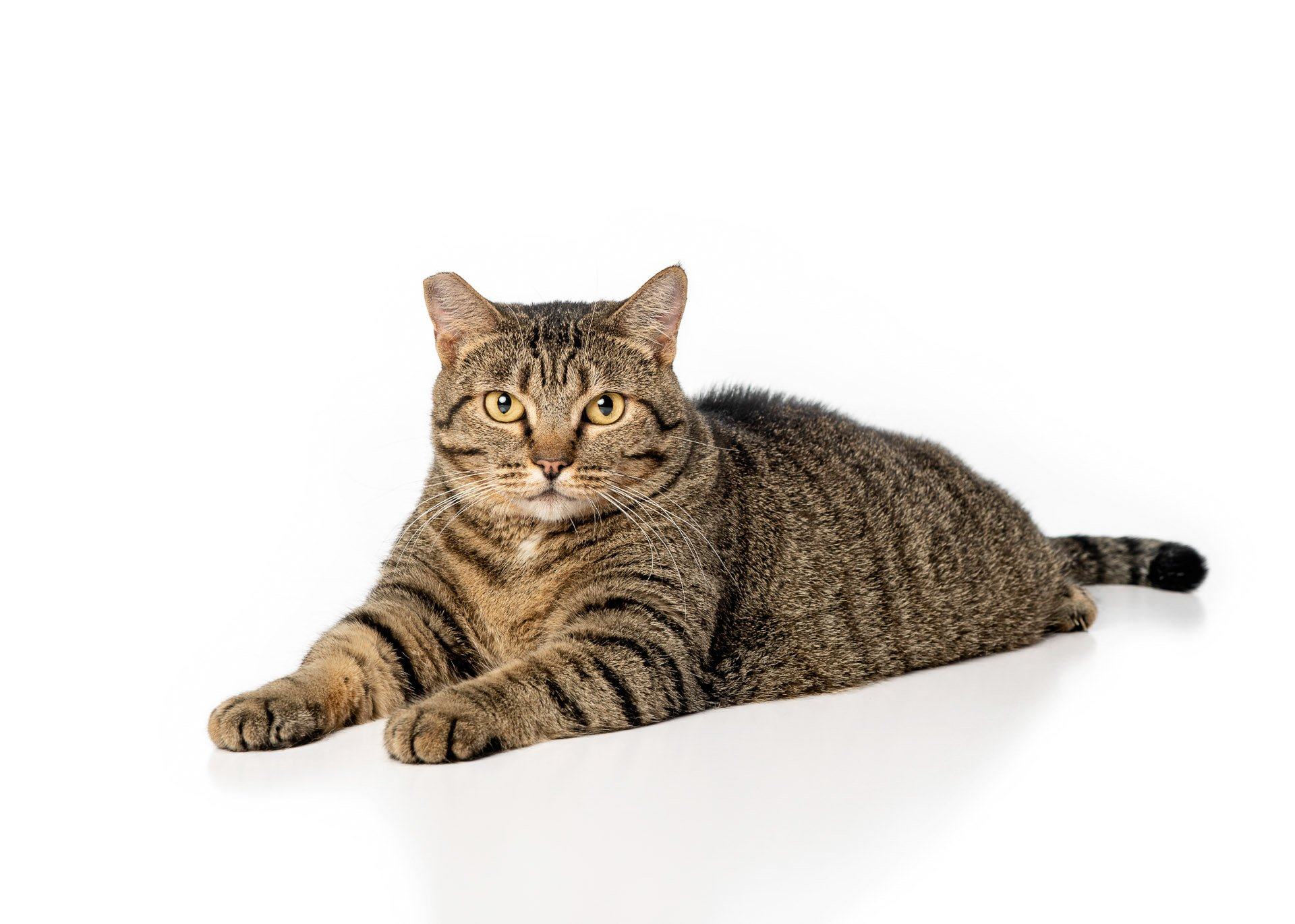 cat-domestic-shorthair-brown-tabby