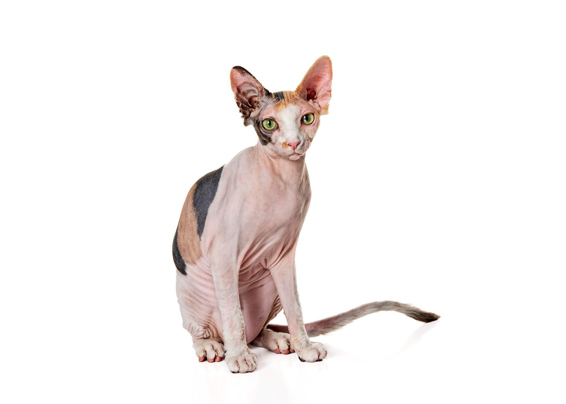 cat-sphynx