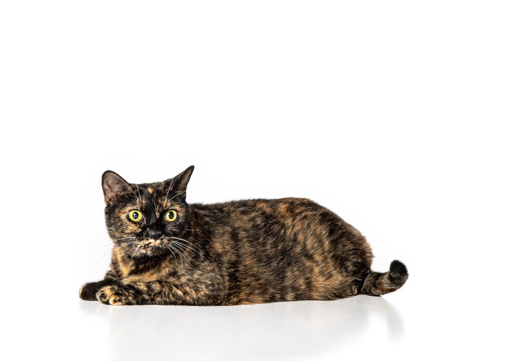 cat-tortoiseshell