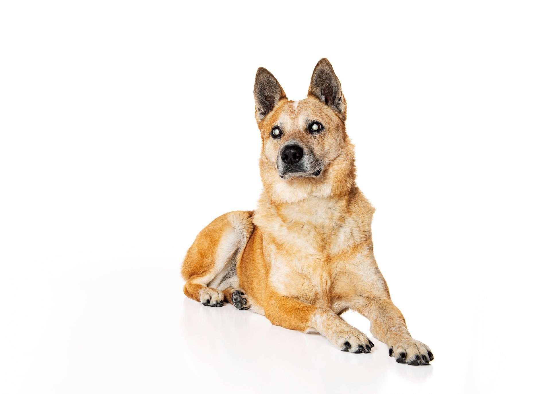 dog-australian-cattle-dog-therapy-animal-blind