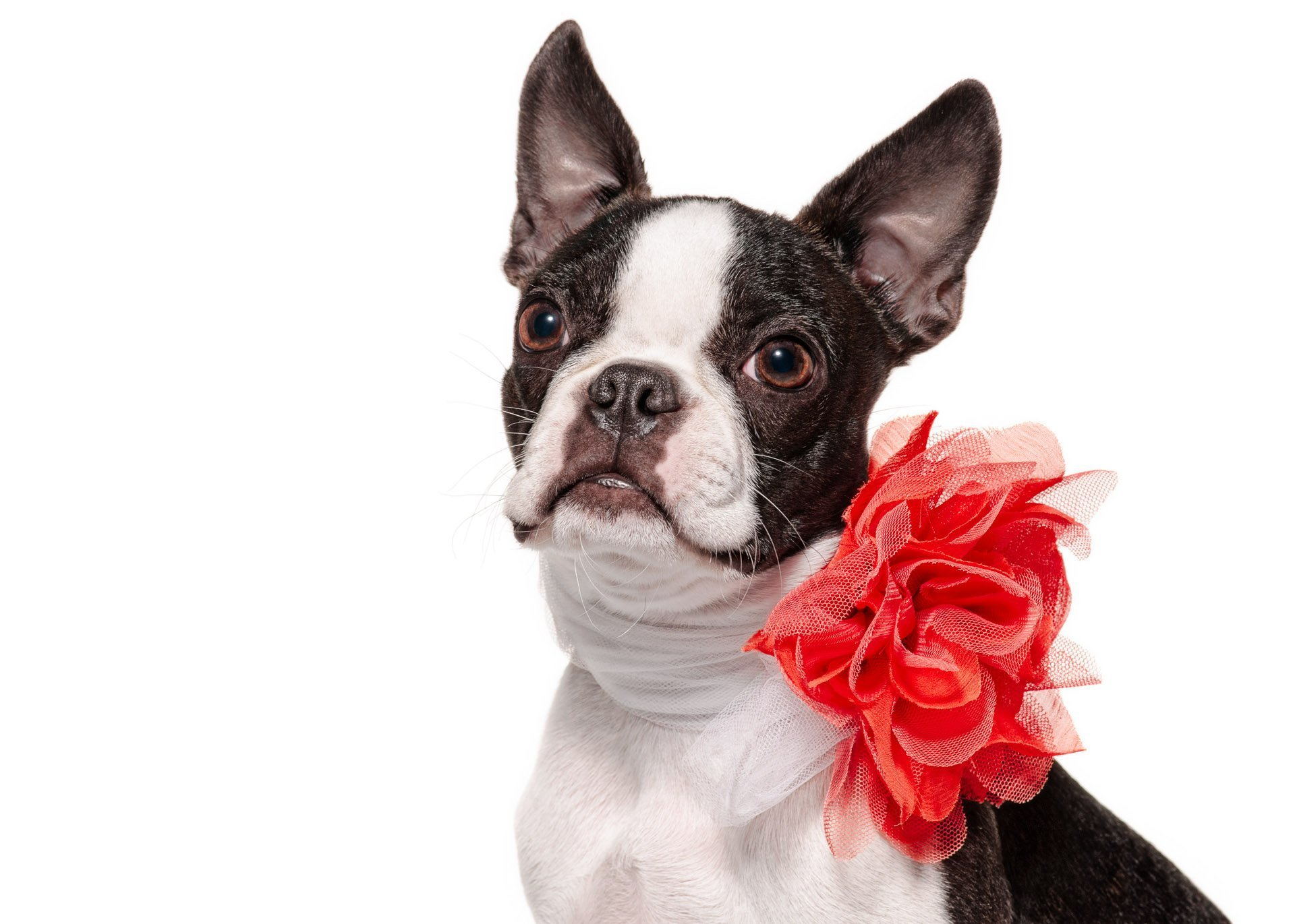 dog-boston-terrier