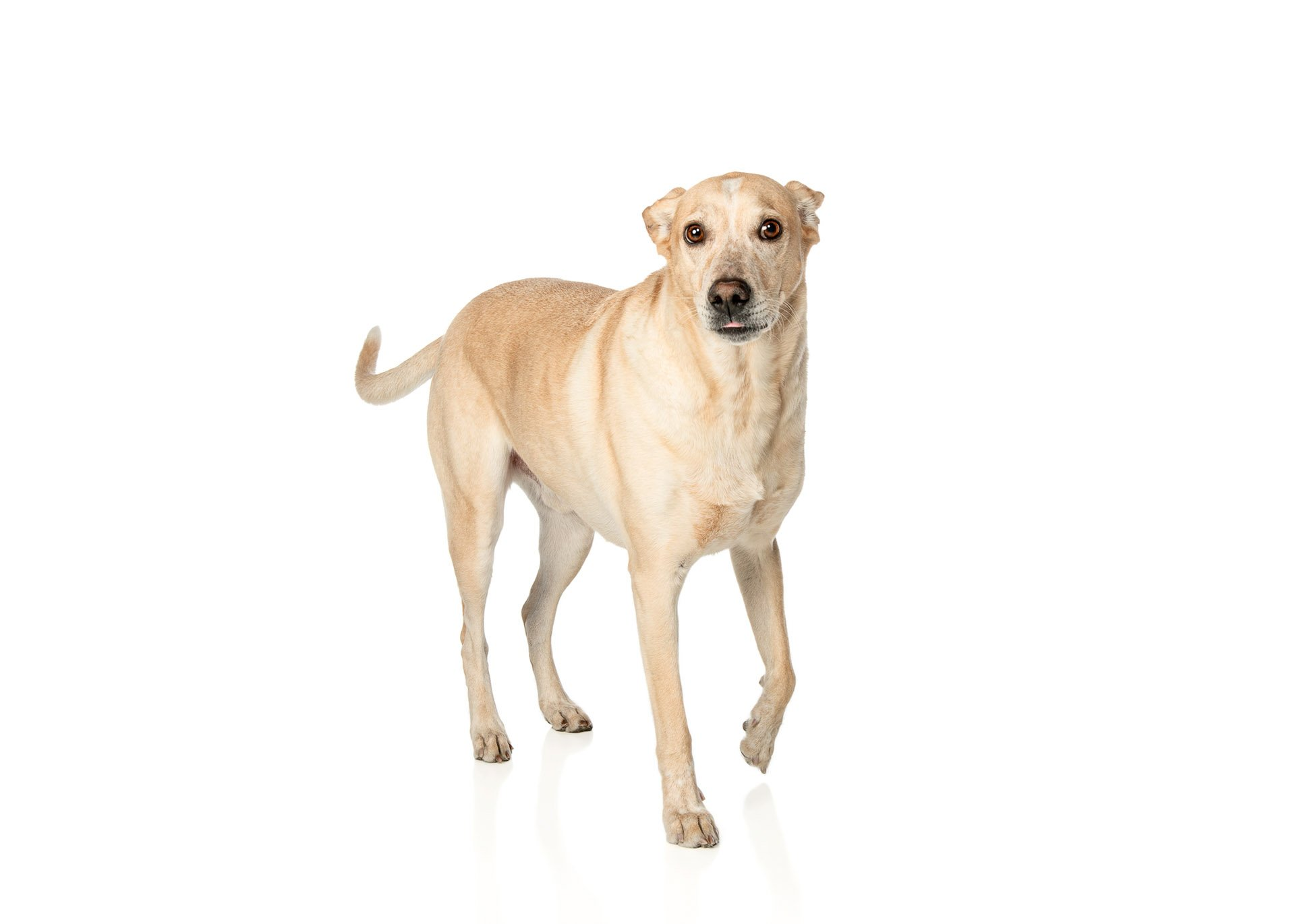 dog-labrador-whippet-mix