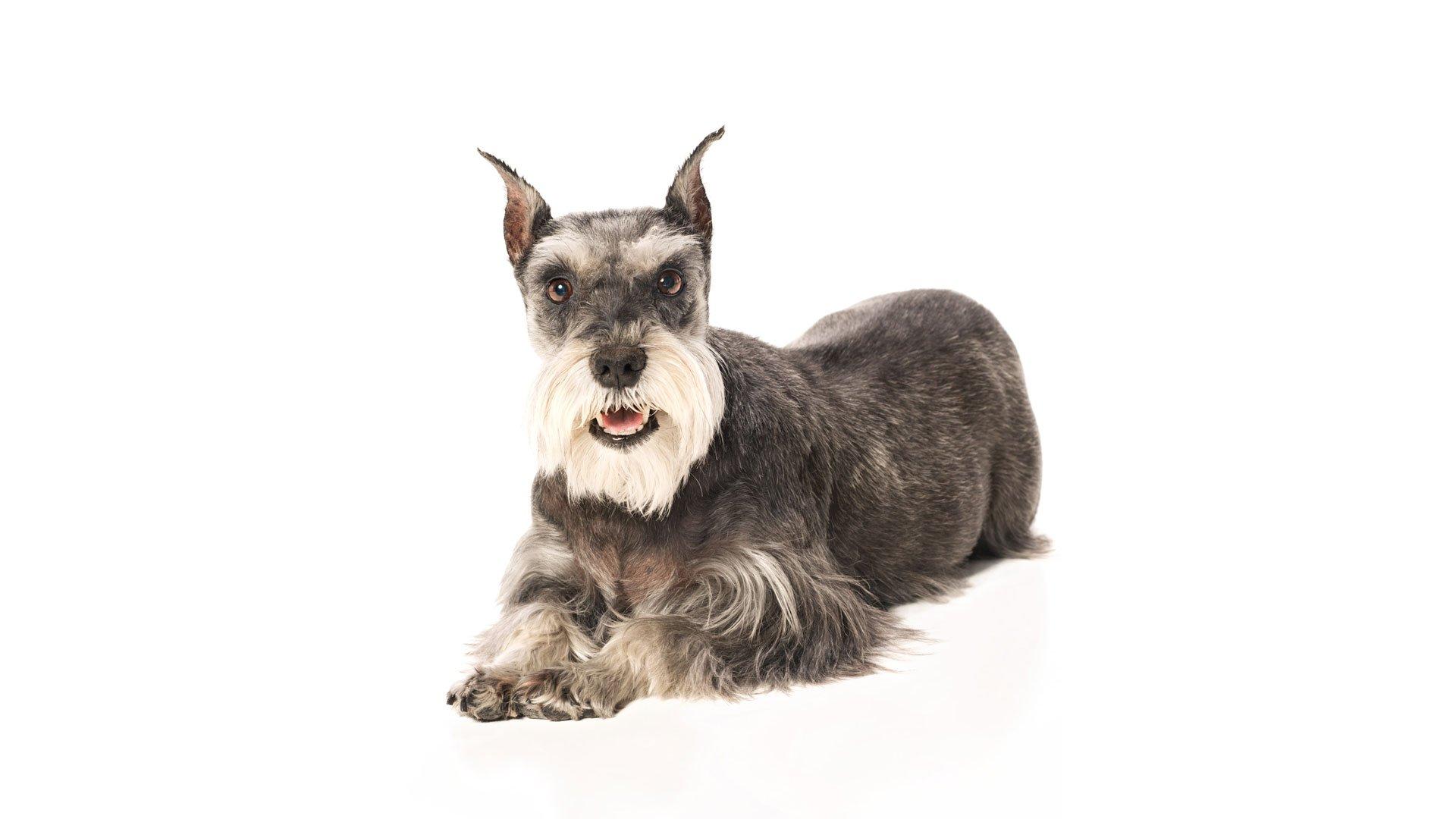 dog-miniature-schnauzer