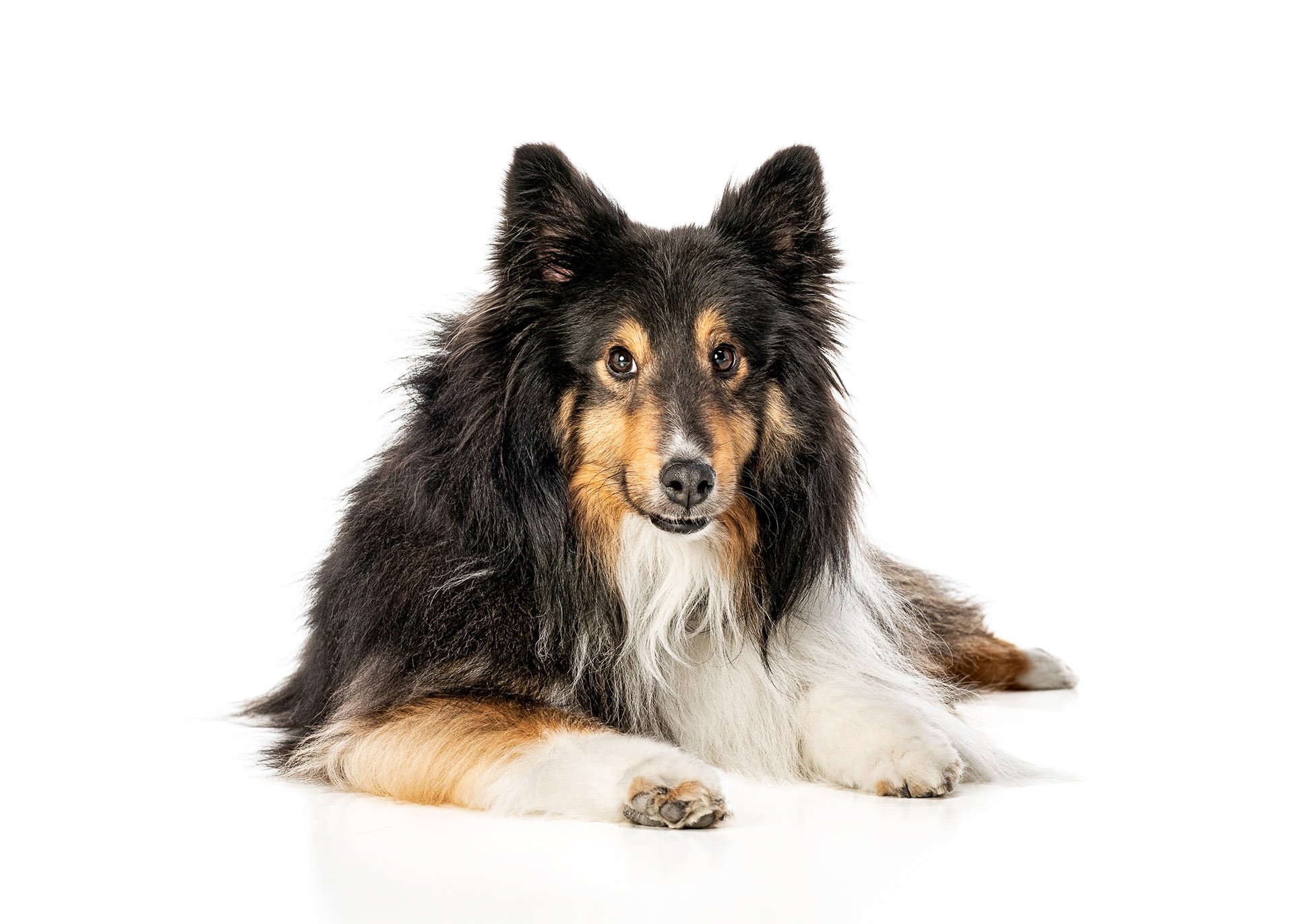 dog-shetland-sheepdog-sheltie