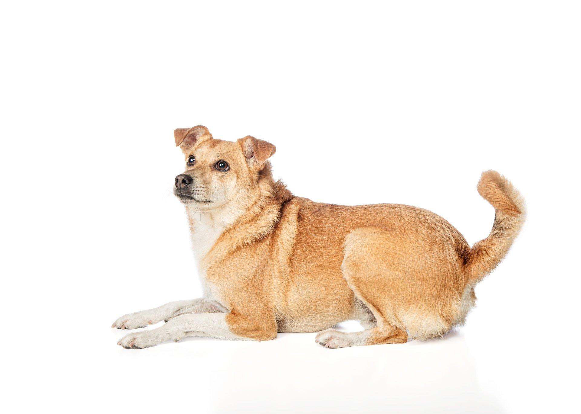 dog-shiba-inu-mix