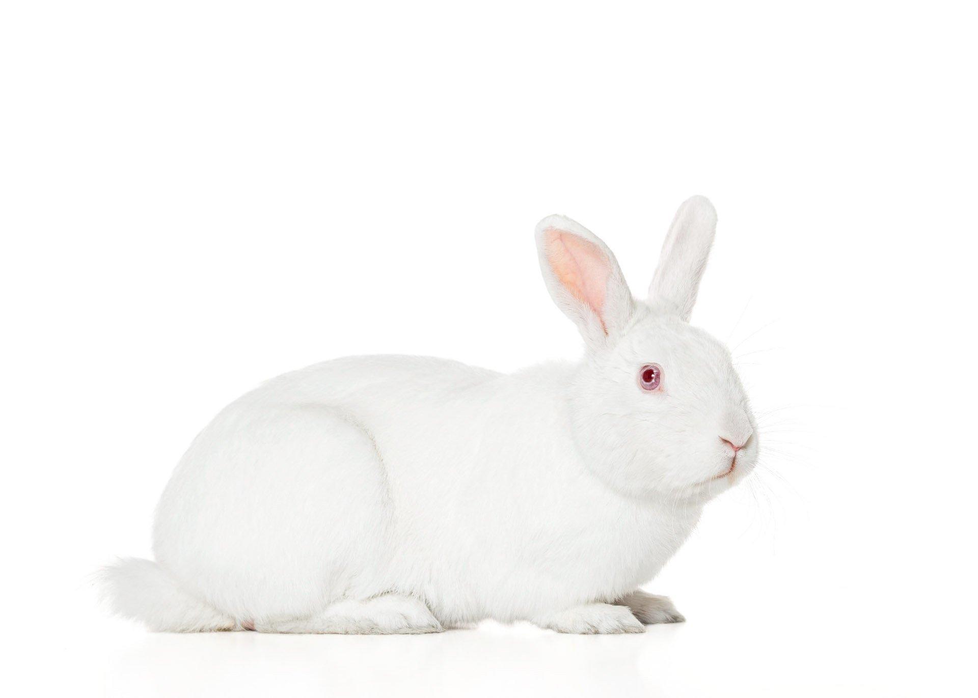 rabbit-bunny-therapy-animal-albino